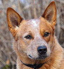 220px-Australian_Catle_Dog