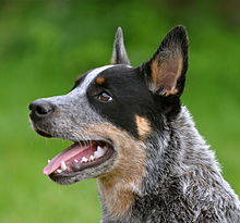 220px-Cattledog_Little_Joe