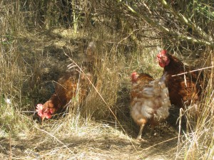 Happy outside chickens, scratching in the broom